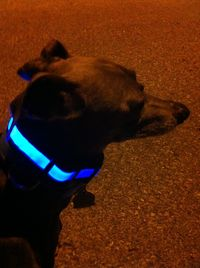 Toby models his Safe Glow dog collar