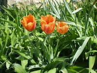 You got me - it's too early for tulips where I live. This is a photo from another year.