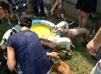 Italian Greyhounds bobbing for weenies in a kiddie pool