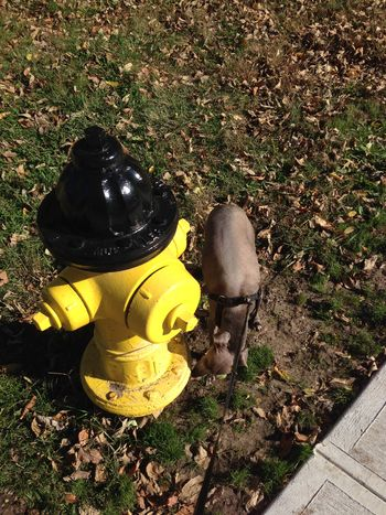 Dog sniffing fire hydrant